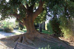 arbre dragon vert